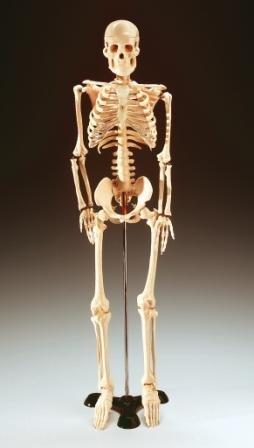 csontváz.jpg